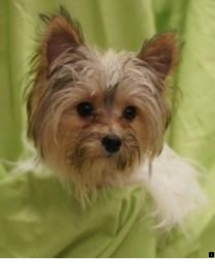 ^^Look at the webpage to see more about yorkshire terrier