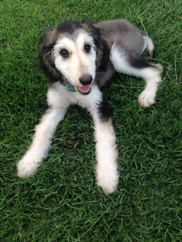 Afghan Hound Puppies For Adoption - Goldenacresdogs com