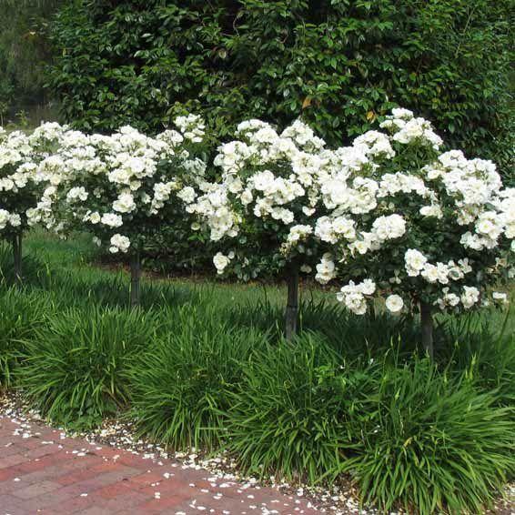 Flower carpet white rose standards snow storm white agapanthus flower carpet white rose standards snow storm white agapanthus mightylinksfo