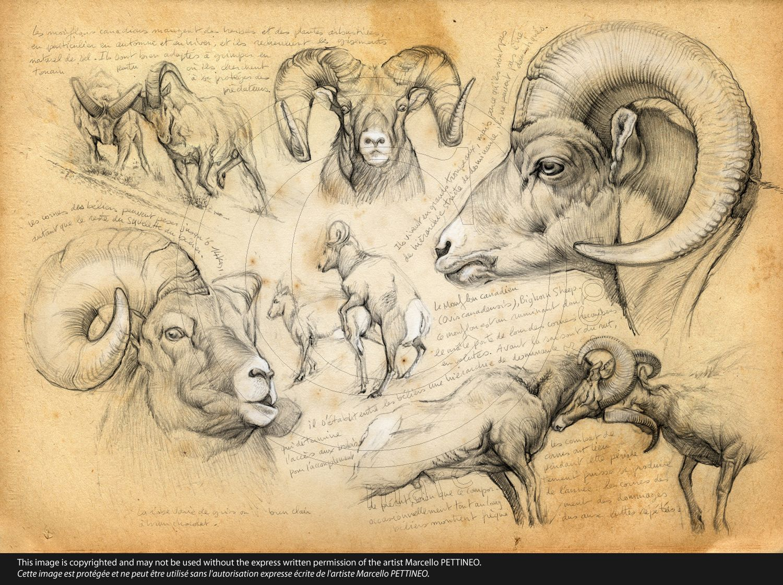 n°51-bighorn-sheep | กวาง | Pinterest | Animal, Sketches and Animal ...