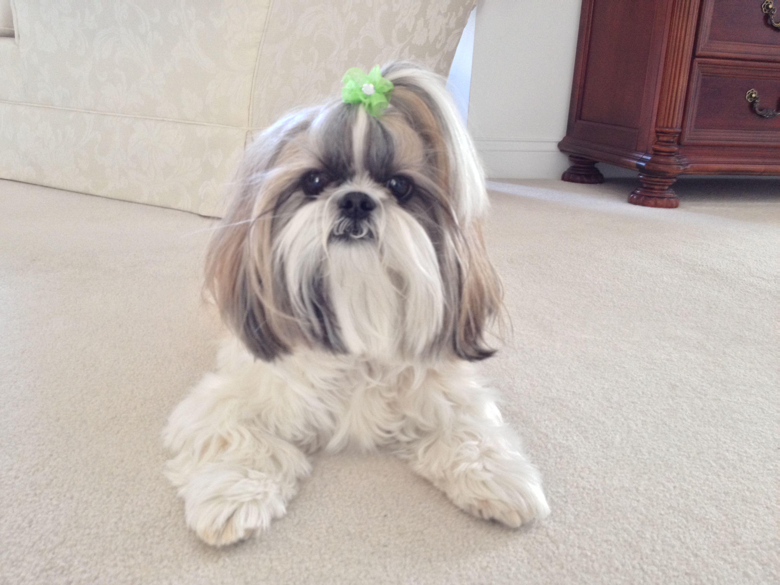 Lacey Shih Tzu Shih Tzu Animals Dogs
