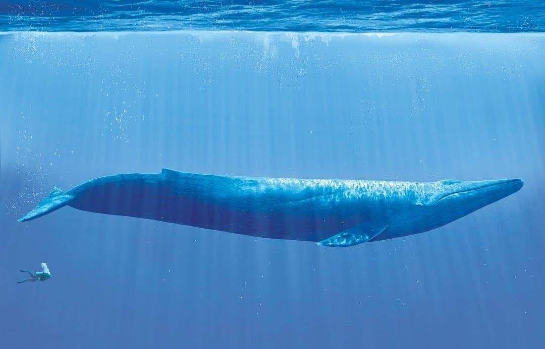 مقارنة حجم إنسان مع أكبر كائن على وجه الأرض الحوت الأزرق Blue Whale Whale Large Animals