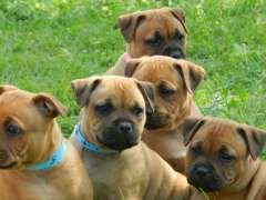 Pure Bred English Staffordshire Bull Terrier Pups Puppies At Www Pups4sale Com Au Staffordshire Bull Terrier Puppies English Staffordshire Bull Terrier Cute Animals