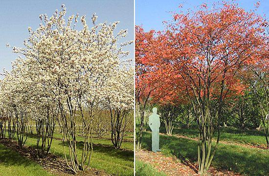 amelanchier als obstbaum eine felsenbirne als naschobst im garten baumschule lorenz von. Black Bedroom Furniture Sets. Home Design Ideas