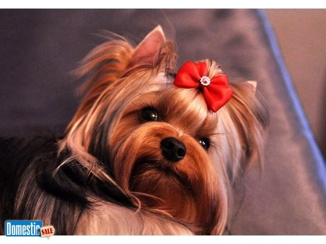 Pin On Darling Yorkshire Terrier For Sale