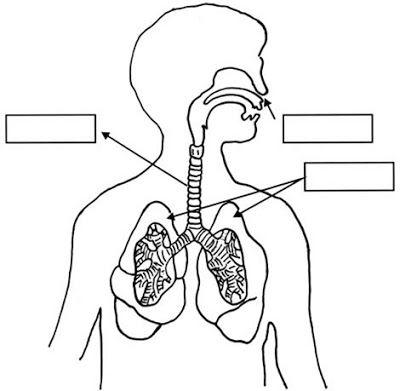 Dibujo Del Sistema Respiratorio Para Colorear Para Preescolar Sistema Respiratorio Para Colorear Sistema Respiratorio Dibujo Sistema Respiratorio Para Ninos