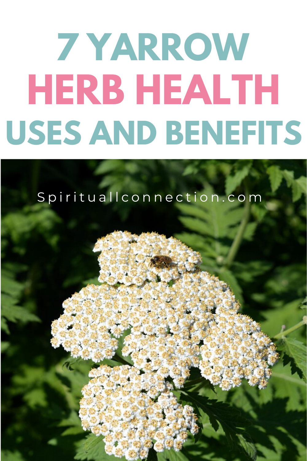 7 Yarrow Health Uses And Benefits In 2020 Natural Health Care Herbs Natural Health Tips