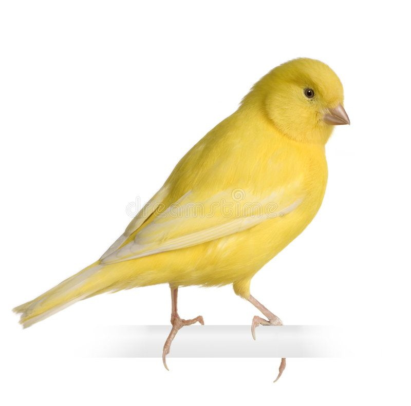 Yellow Canary Serinus Canaria On Its Perch In Front Of A White