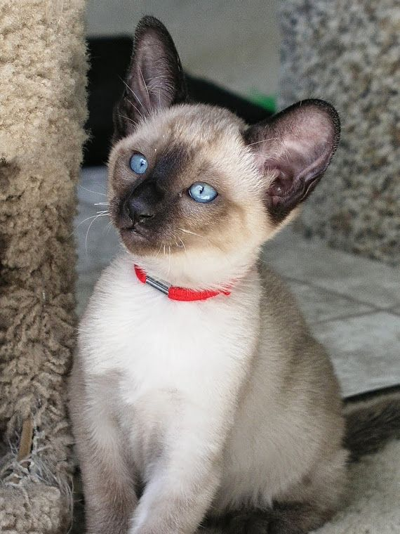 Pin by Marianne Sans on Kitty BlueEyes Siamese cats