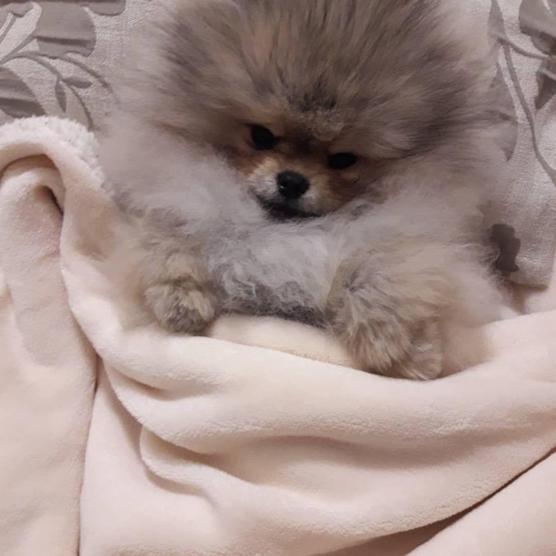 Good Night Pomeranian Doglover Pomeraniums Pinterest