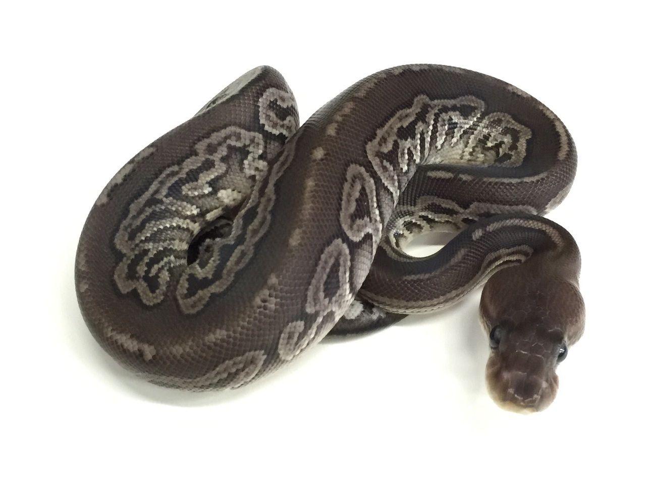 Gargoyle Ball Python for sale (Python regius)