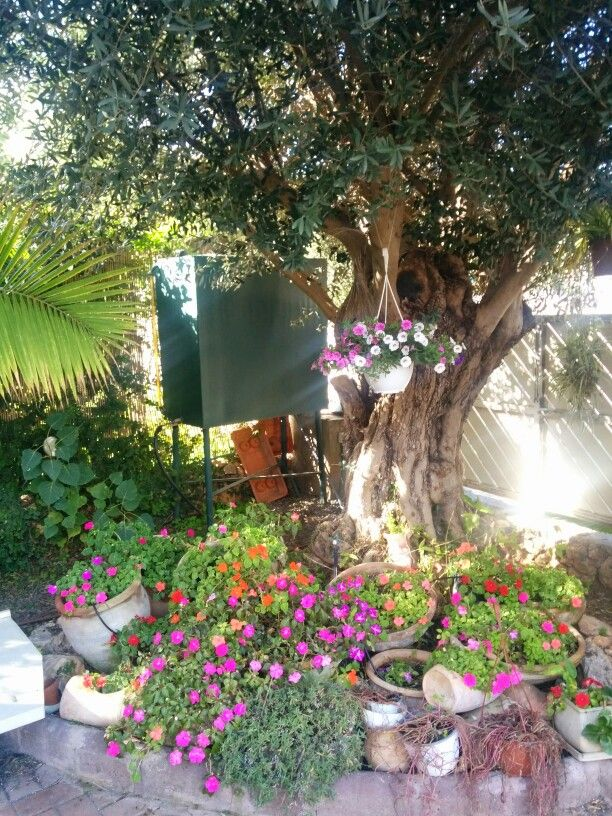 The olive tree and around