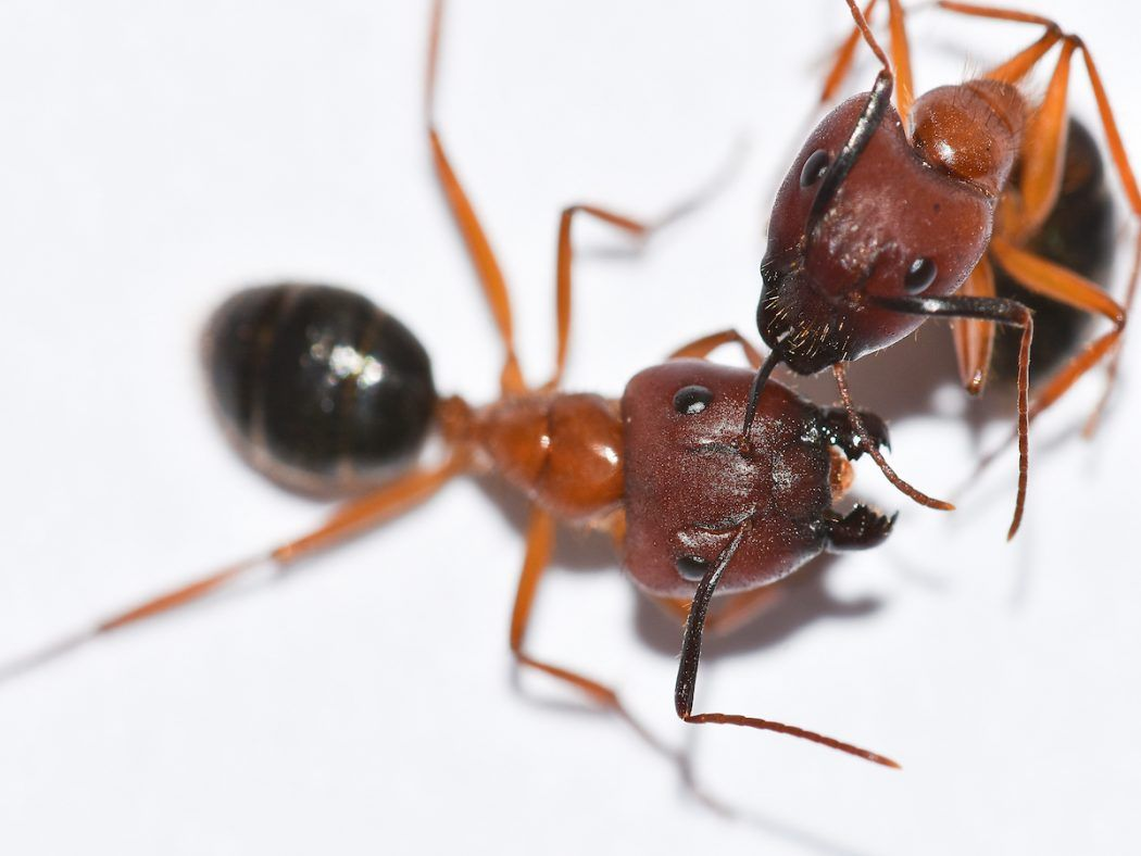 Top 10 Weirdest Zombie Insects In The World Topteny Com Carpenter Ant Ant Infestation Termite Control