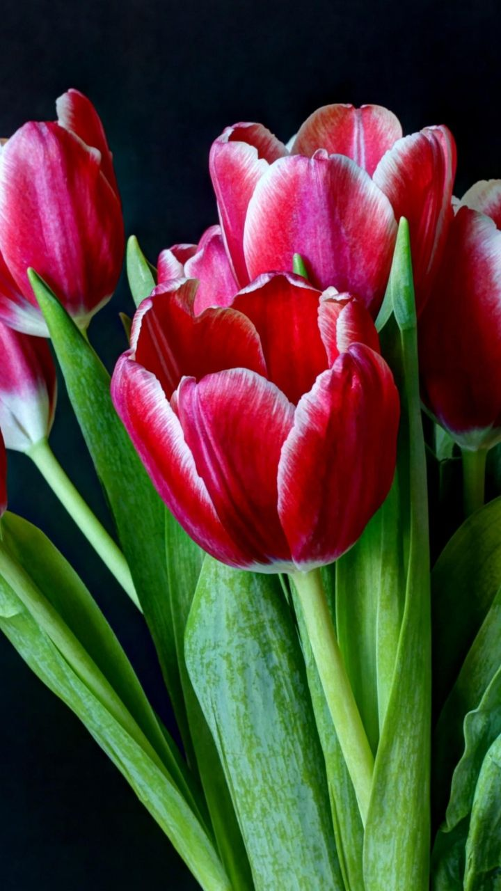 Download Wallpaper 720x1280 Tulips Flowers Two Color Bouquet Dark Background Samsung Galaxy S3 Hd Background Spring Flowers Wallpaper Flowers Tulips