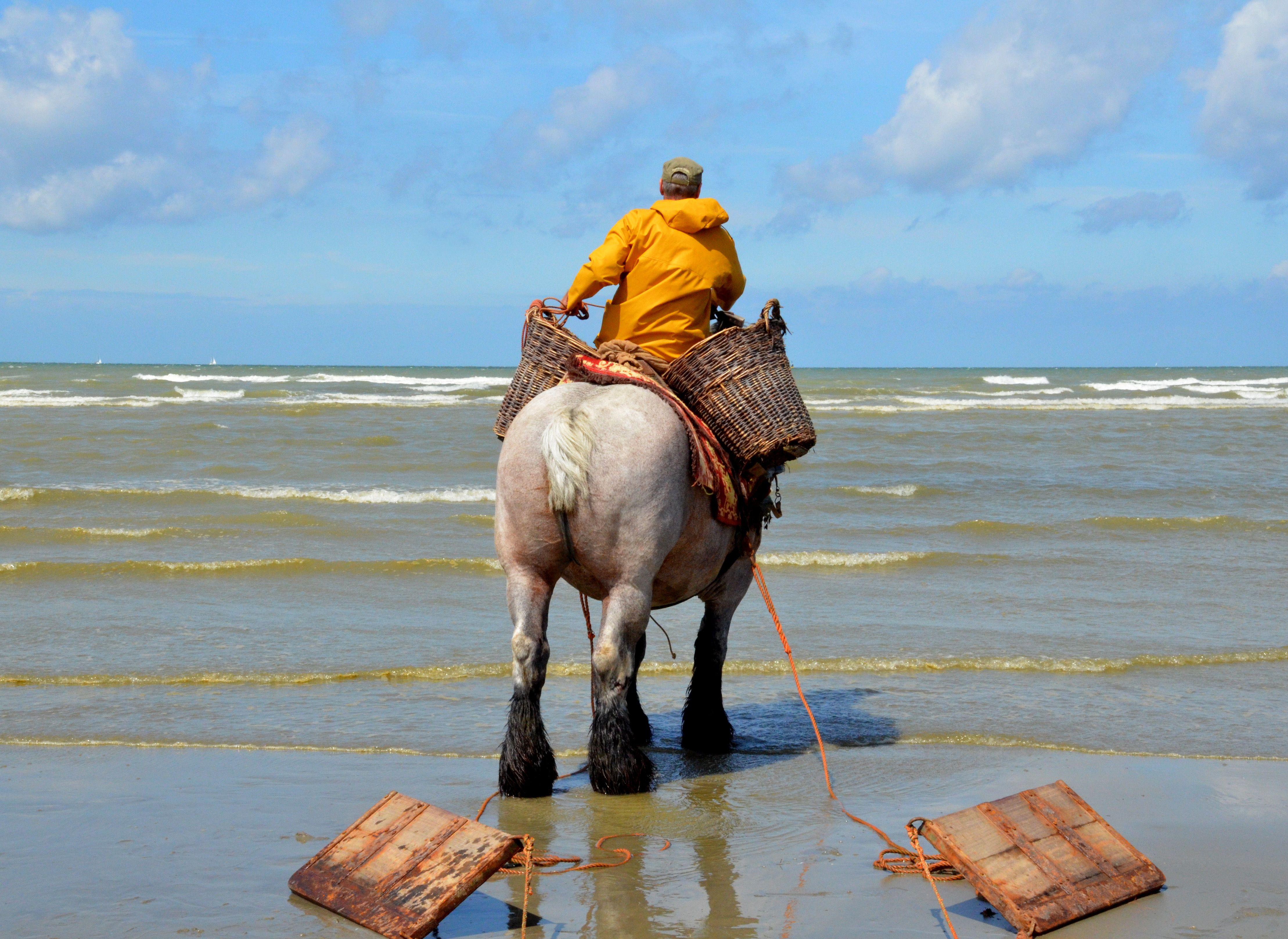 Pêche de crevette à cheval à Coxyde, désormais patrimoine immatériel de l'UNESCO