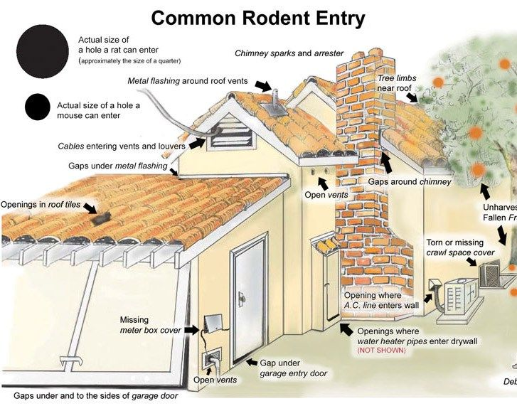 How To Get Rid Of Rats And Avoid A Rat Infestation Diy