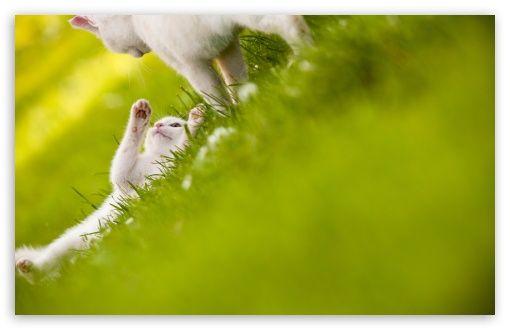 Cute White Cats HD Desktop Wallpaper Widescreen High Definition Fullscreen Mobile