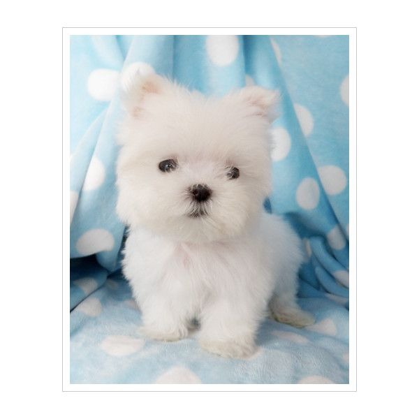Maltese Puppies For Sale At Teacups Puppy Boutique South Florida
