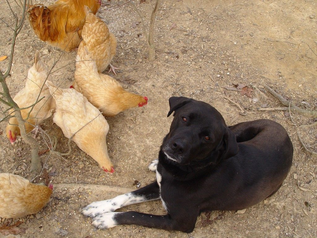 how to train a dog to protect backyard chickens dog coops and