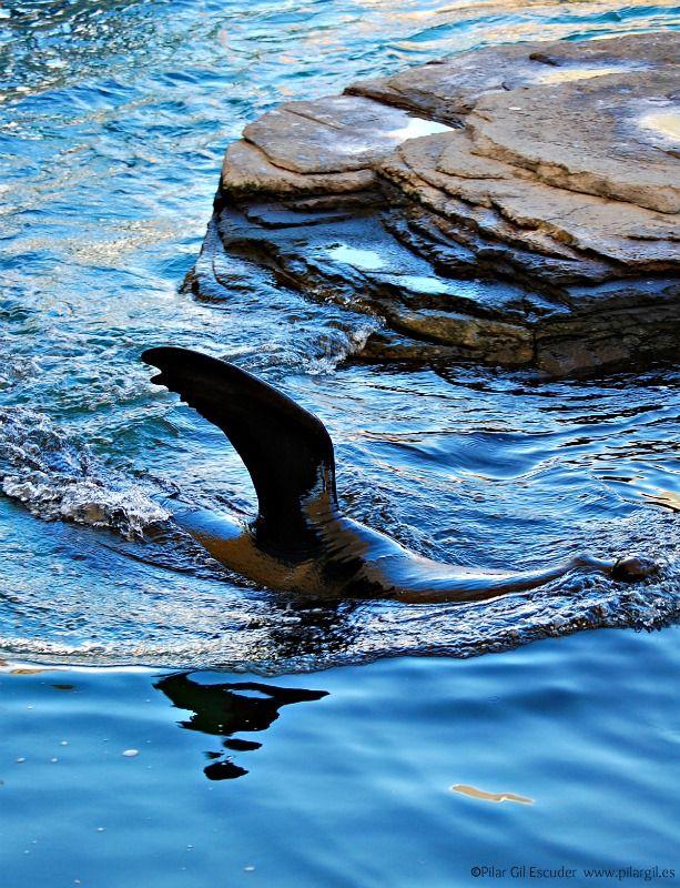 Un león marino finge ser un tiburón ;) Oceanografic. Valencia ...