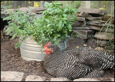 Backyard Chickens And Flies the effects of mint on chickens, flies and rodents in the chicken