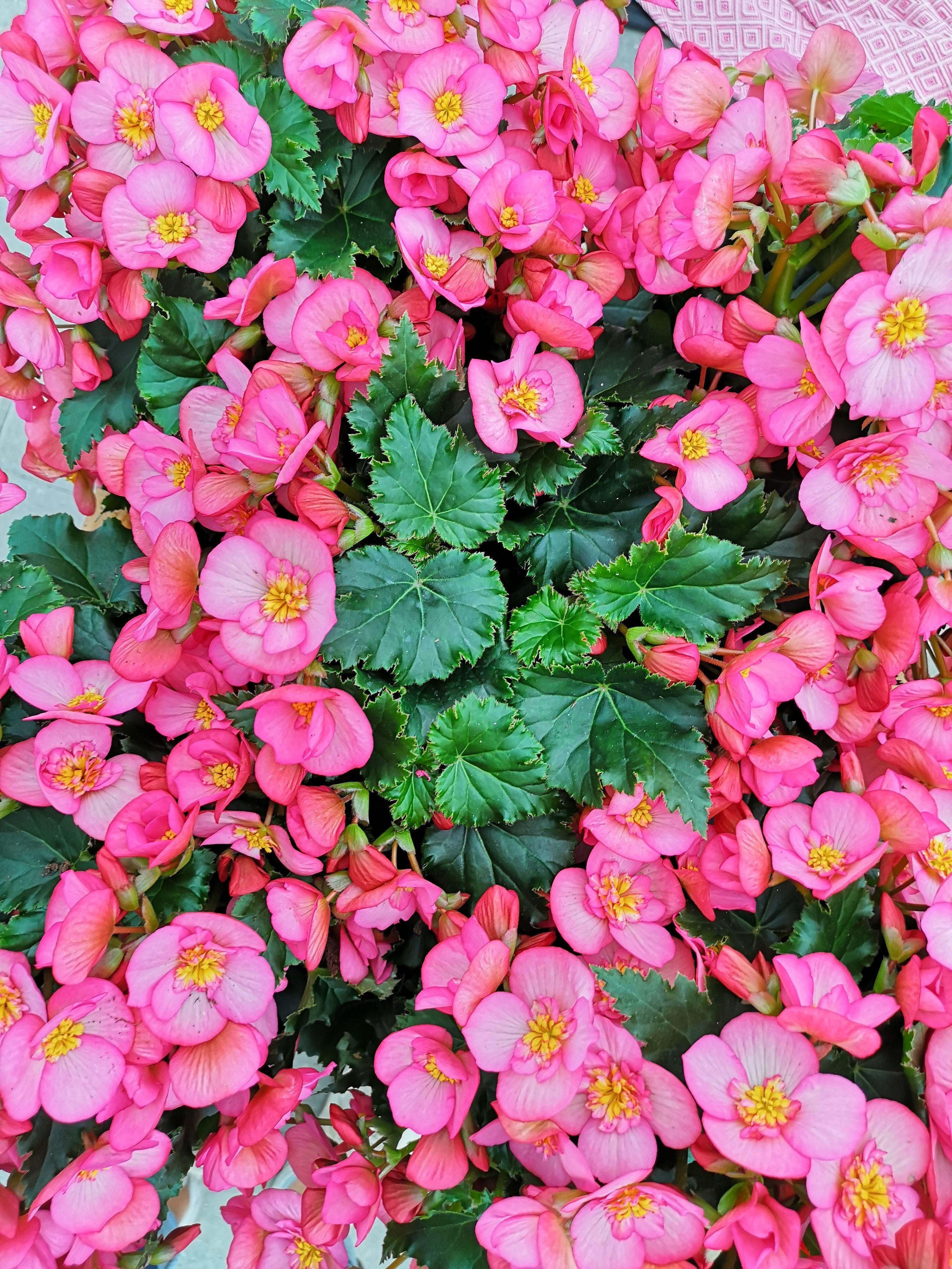 Macarose Begonia Flowertrials Beekenkamp