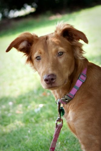Millie - Irish Setter/Golden Retriever mix - Humane Society of York County Fort Mill, SC - http://www.humanesocietyofyorkcounty.org/ - https://www.facebook.com/HSYC.animals - http://www.petfinder.com/petdetail/20744316/