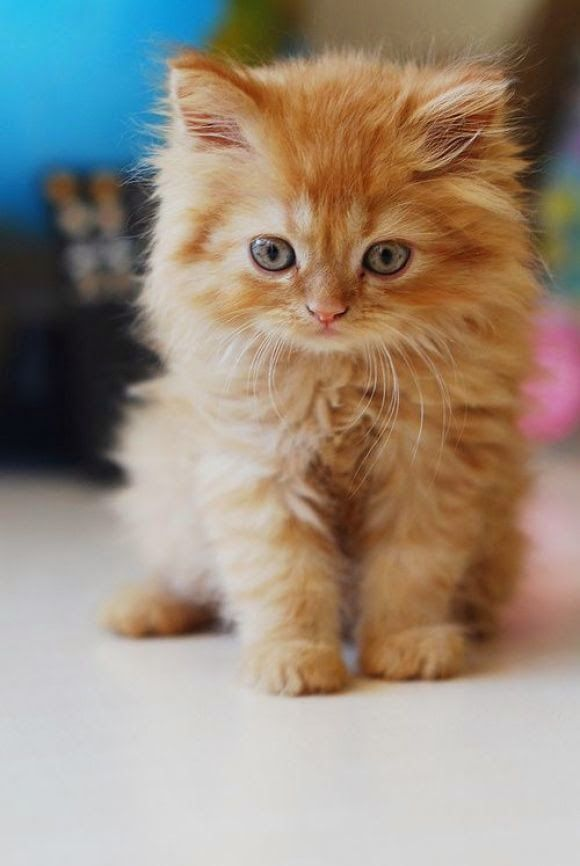 Cute orange kitten is so curious! For more awesome cat