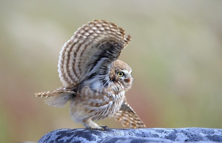 Beautiful owl getting ready to take off
