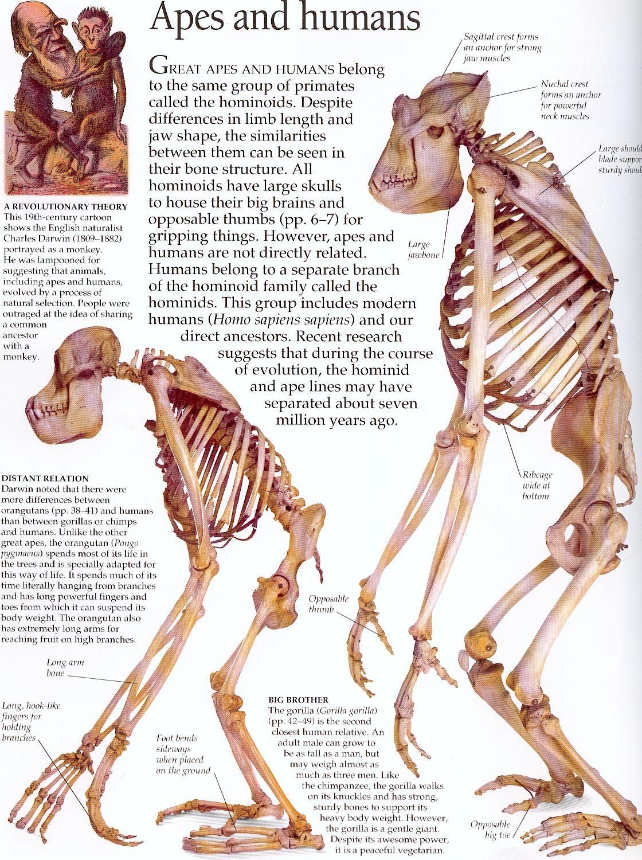 Chimpanzee Skull Diagram Giant Panda Food Web Ape And Orangutan Skeletons Anatomy Animal Pinterest