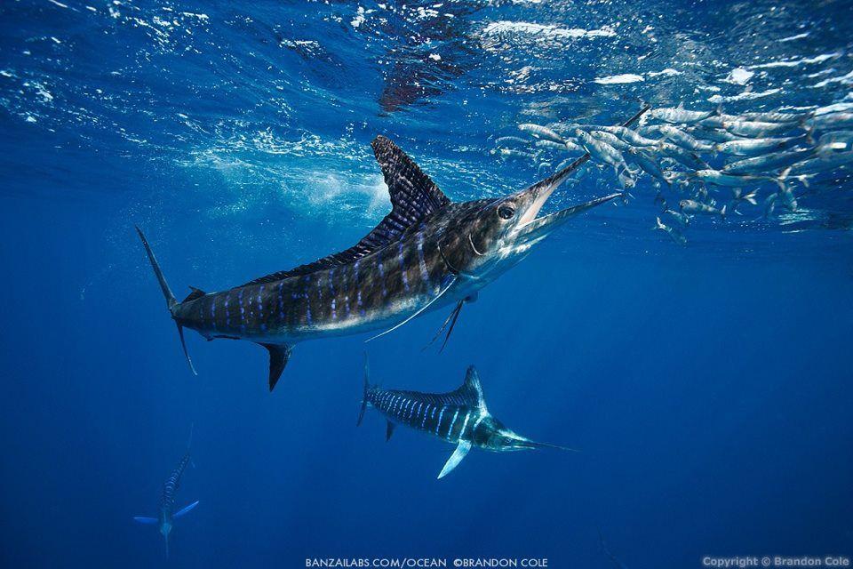 Striped Marlin | Ocean creatures, Underwater world