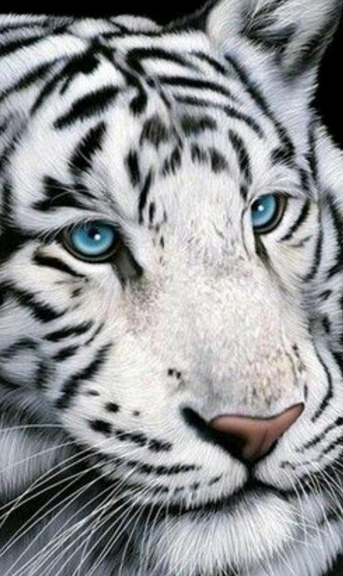Tiger Face Animals Beautiful Animals Wild Cats