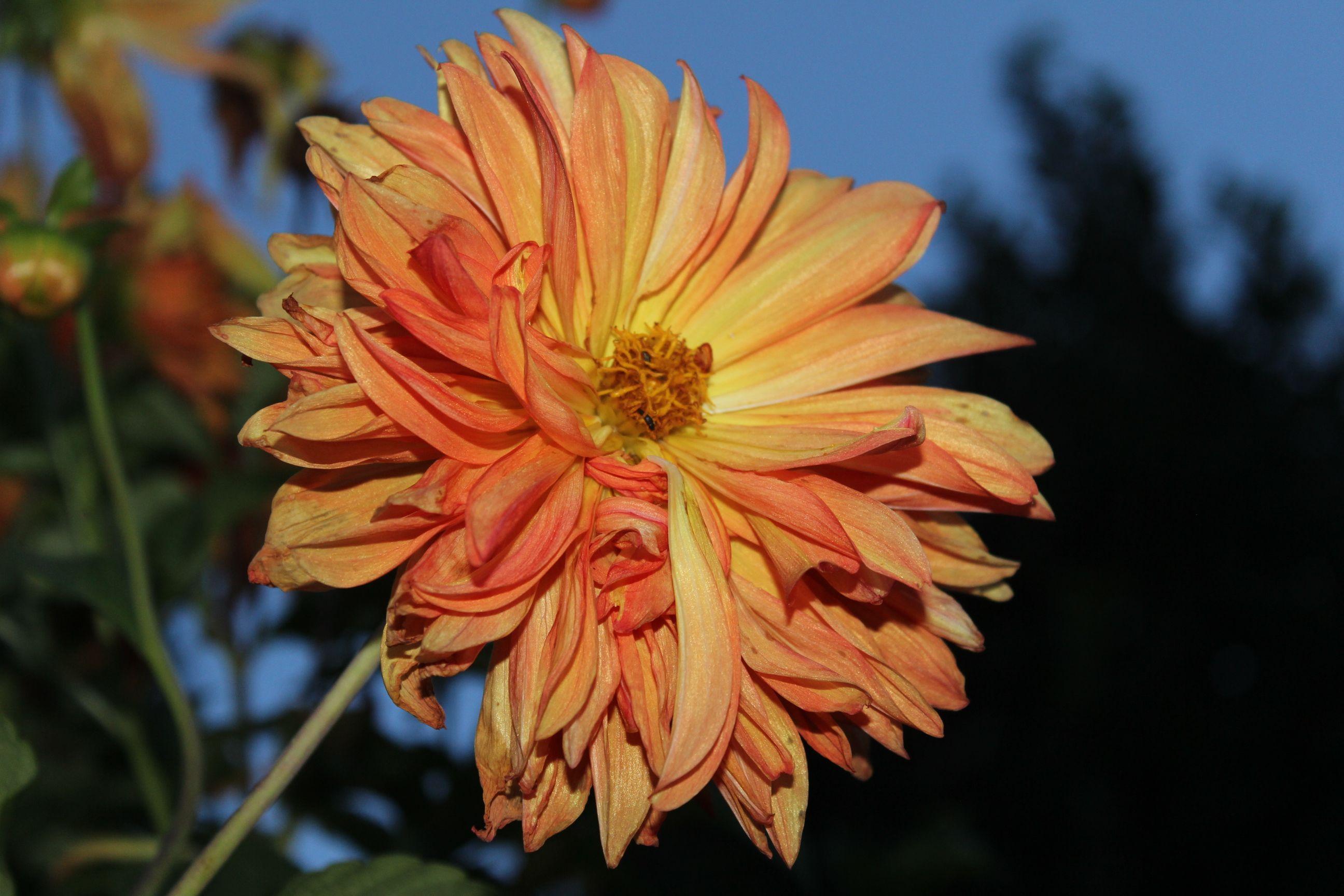 Chrysanthemum orange pink flower garden dusk flowers