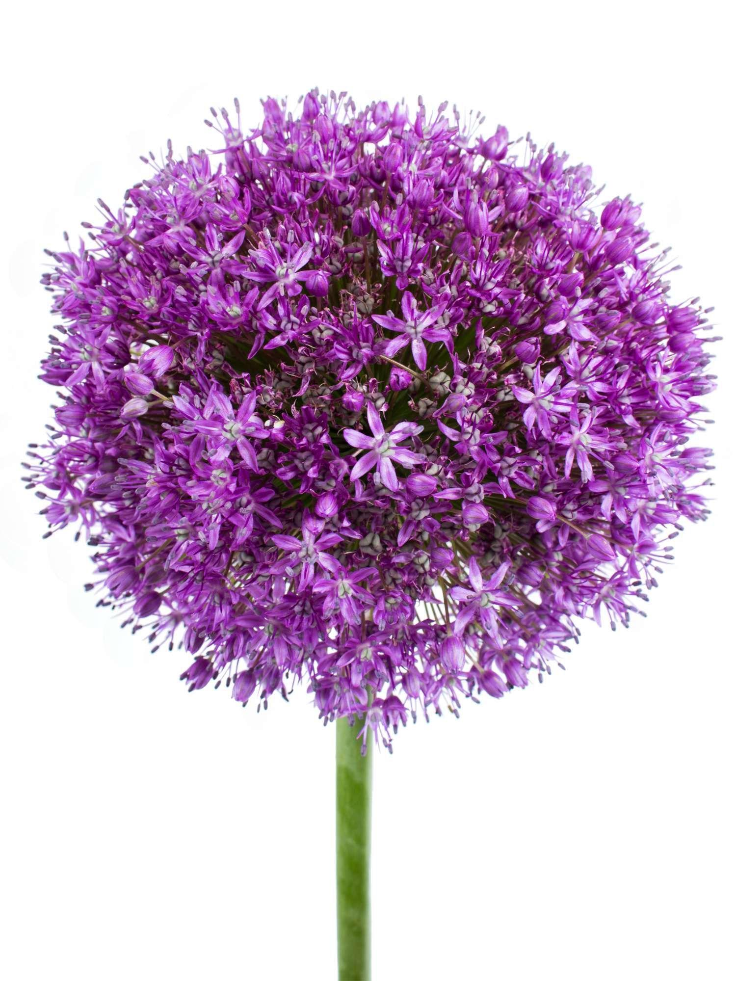 allium lila violett giganteum xxl zierlauch jetzt entdecken auf schnittblumen. Black Bedroom Furniture Sets. Home Design Ideas