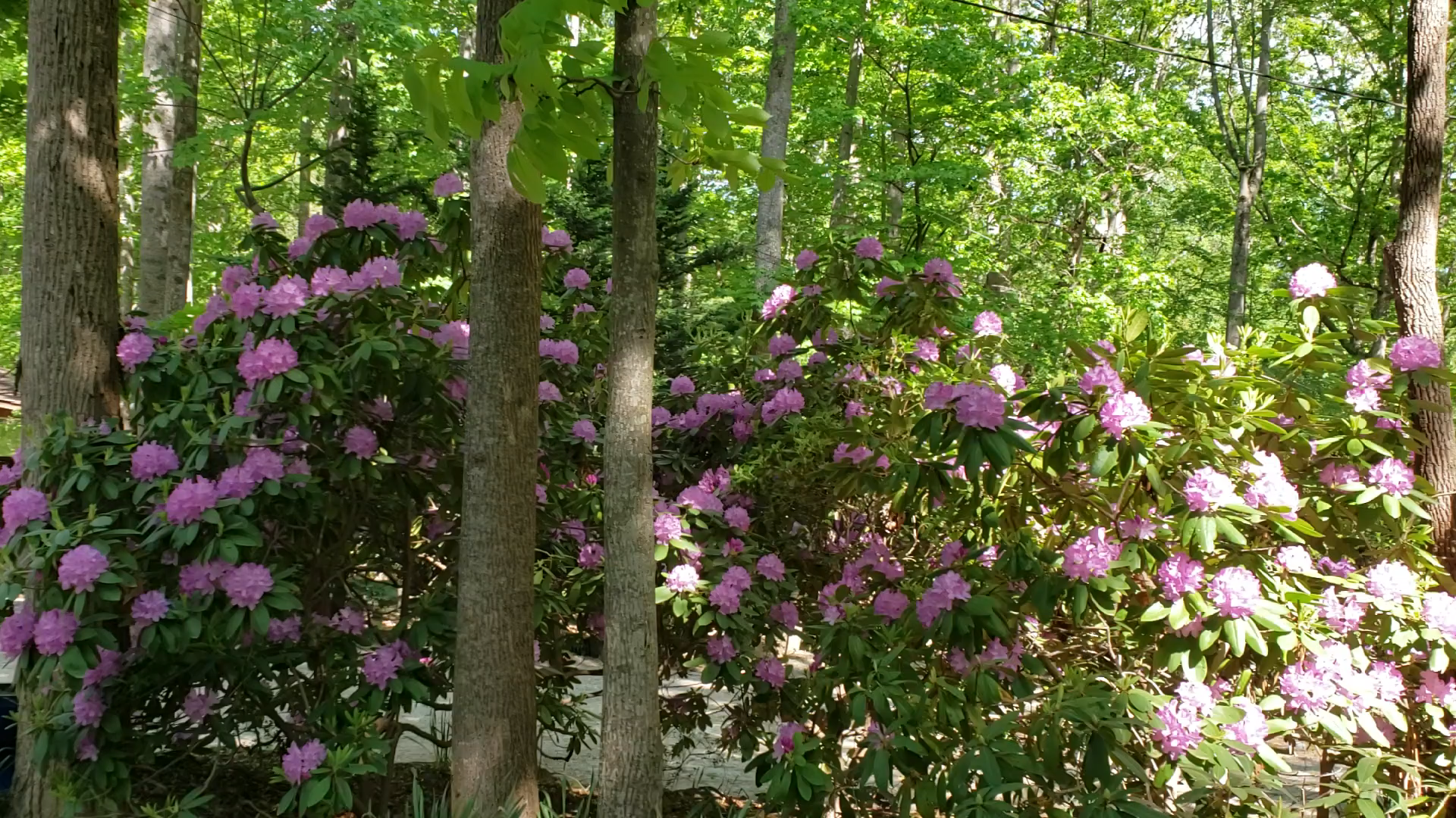Rhododendrons in bloom at Willow Winds
