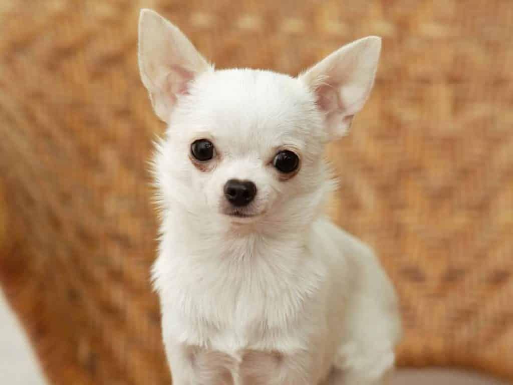 Chihuahua razas de perros peque os para tener en casa razas de perros peque os para tener en - Perros para tener en casa ...