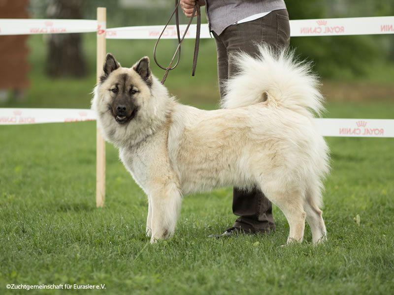 Eurasier Eurasier Hunde Eurasier Eurasier Hund Und Hunde