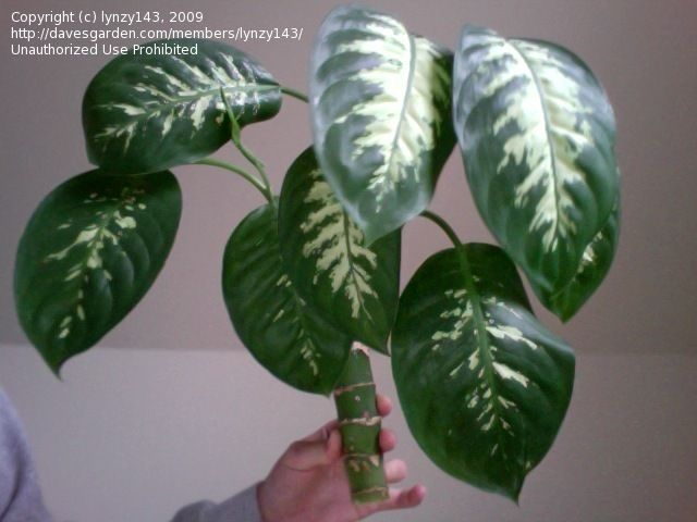 House Plants Identify By Pic | Plant Identification: Lynzy143 Picture  (Common Houseplant)