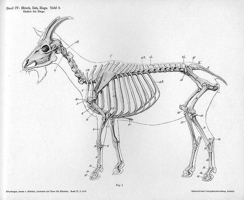 Skelett der Ziege