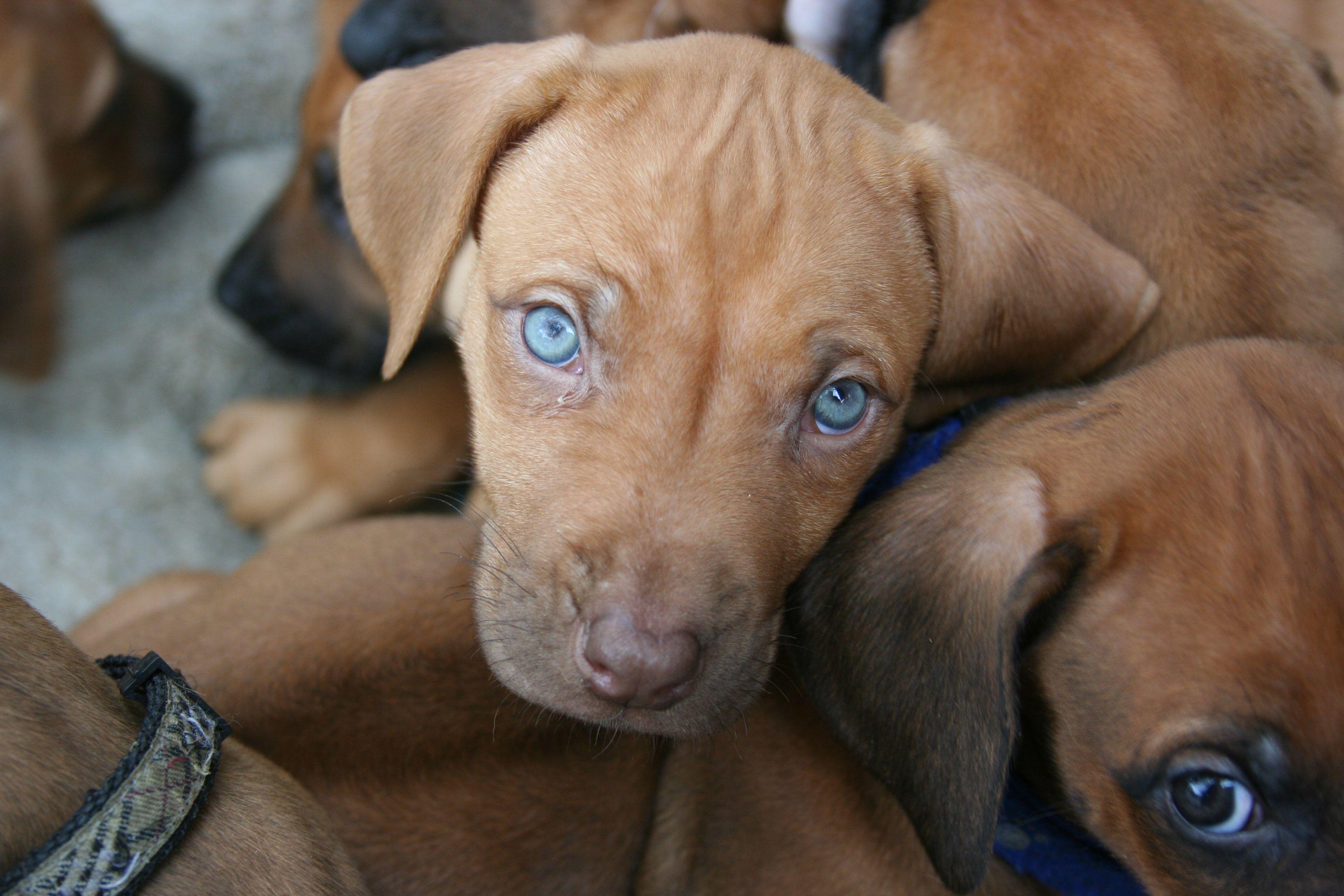 Amazing Rhodesian Ridgeback Brown Adorable Dog - e7302af0edbd77dffe035d45e2d360d9  Perfect Image Reference_75959  .jpg