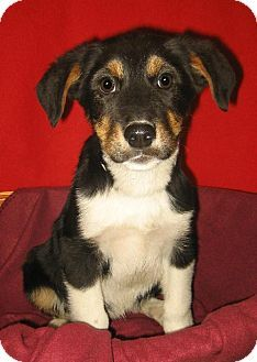 Greater Swiss Mountain Dog Mix Potential Doggies Dogs