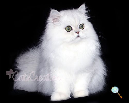 Doll Face Chinchilla Silver Persian This Is What I Want Heather Dow Teacup Persian Cats Persian Kittens Pretty Cats