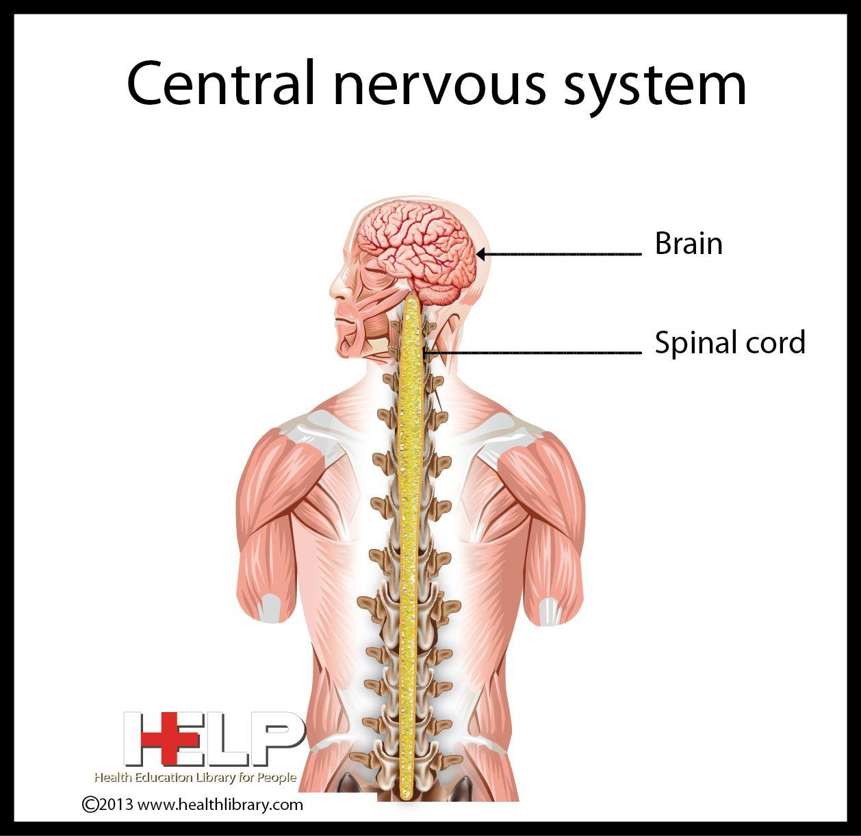 Central Nervous System | Nervous System | Pinterest