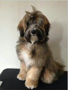 Image Result For Sable Tibetan Terrier Tibetaanse Terrier Terrier Honden