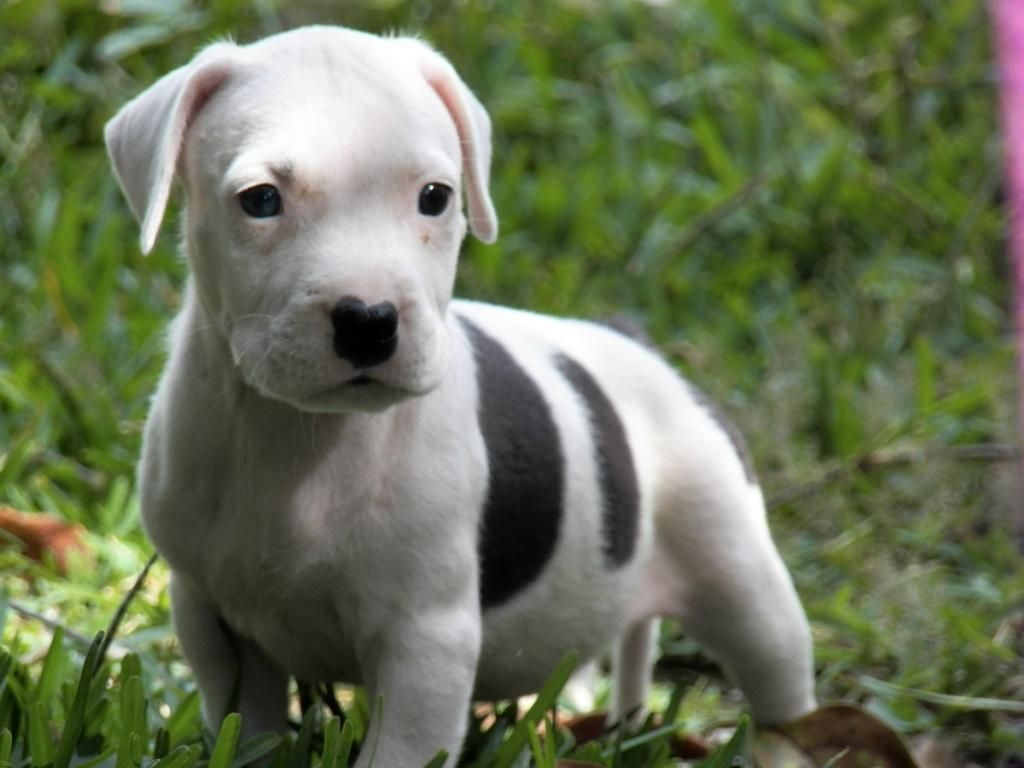 White Pitbull Dog Pitbull Dog Puppy Pitbull Terrier White Pitbull Puppies