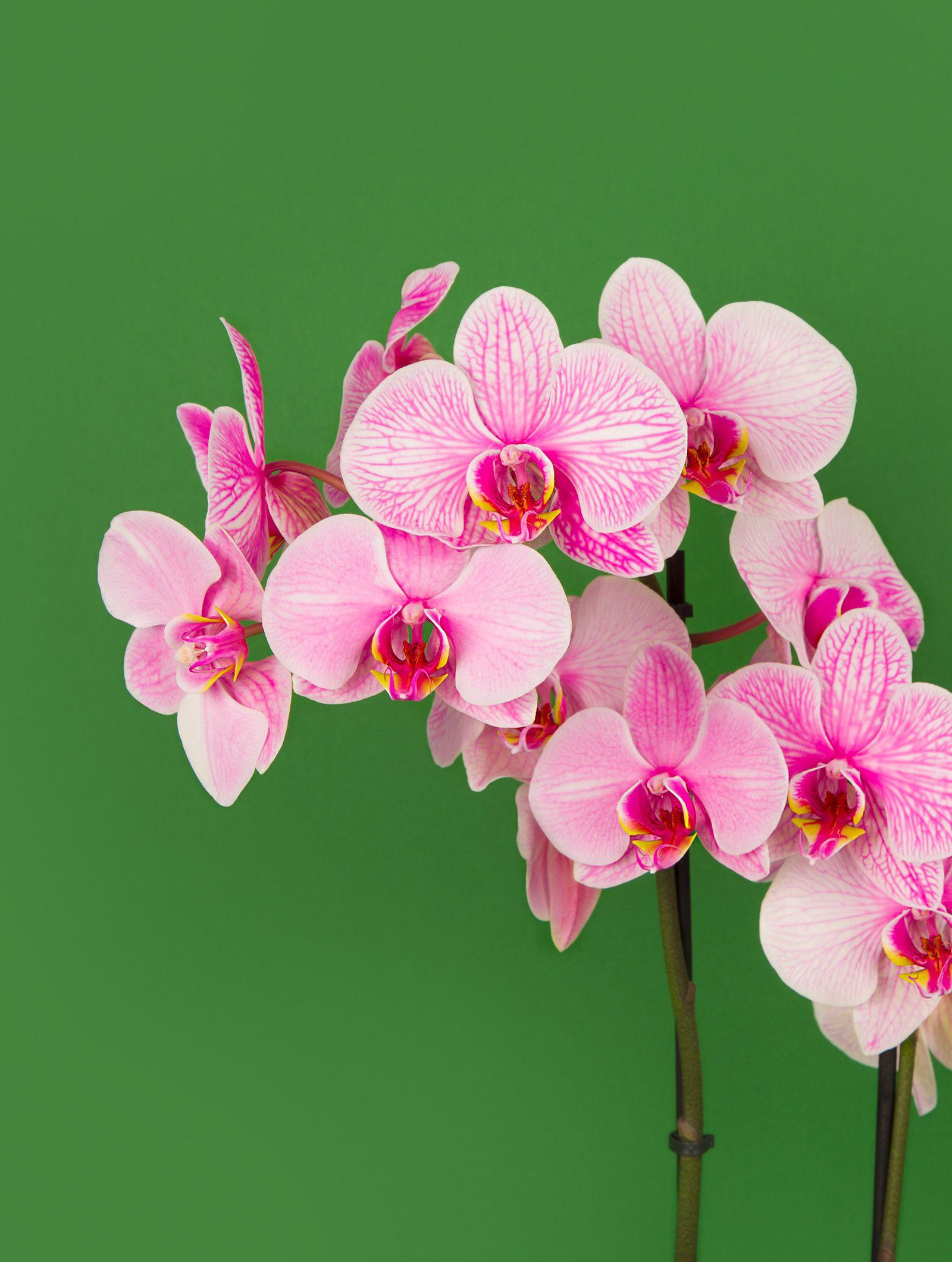 Orchidee Rose Bonbon Qui Dit Orchidee Rose Dit Surprise Garantie A Coup Sur Envoyer Des Fleurs Est Deja Une Grande Surprise Mais Quelle Surprise En Ouv