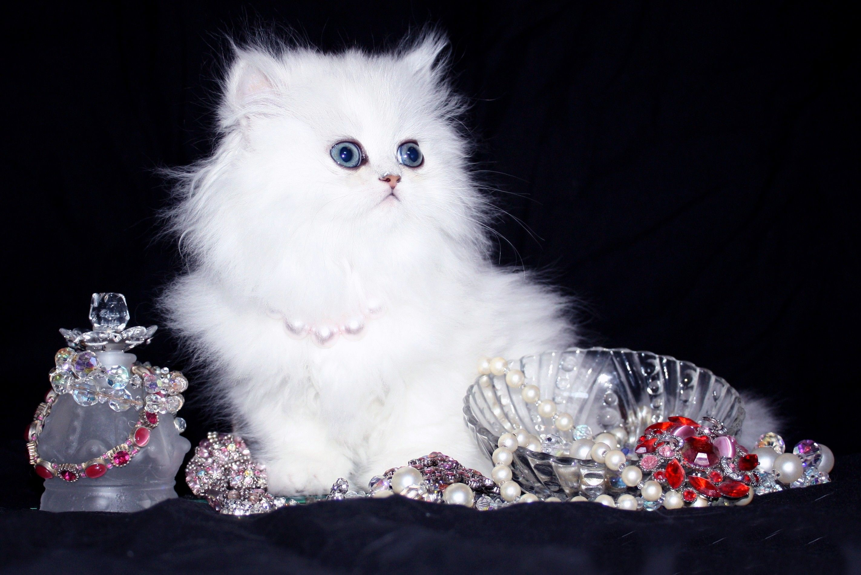 Doll Face Persian Kittens Yahoo Image Search Results