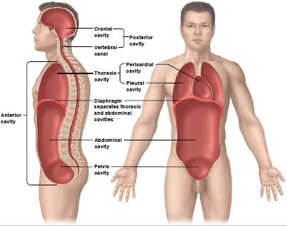body cavities - Google Search | Anatomia | Pinterest