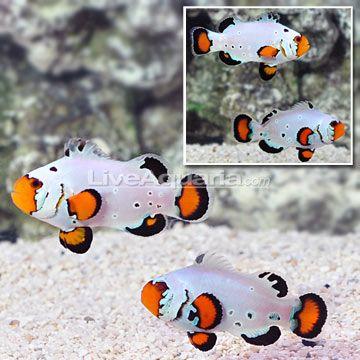 Liveaquaria Clown Fish Aquarium Fish Marine Fish