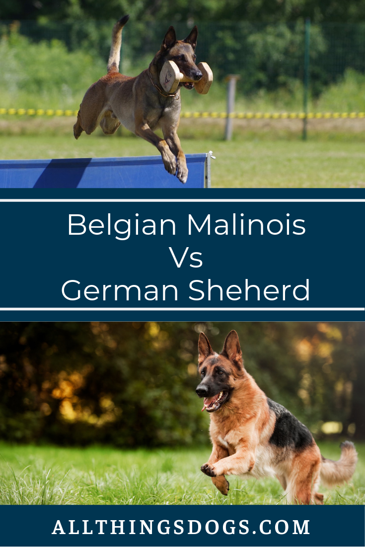 Belgian Malinois Vs German Shepherd Belgian Malinois Malinois German Dogs